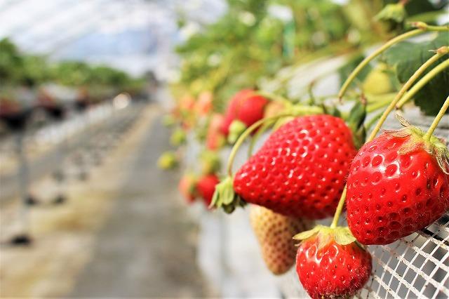 いちご 宮崎県 延岡 おいしい 楽しい 川原いちご農園